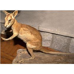 Wallaby Full Body Mount