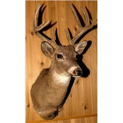 Second White-Tailed Deer Shoulder Mount