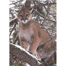 5 Day Cougar Hunt