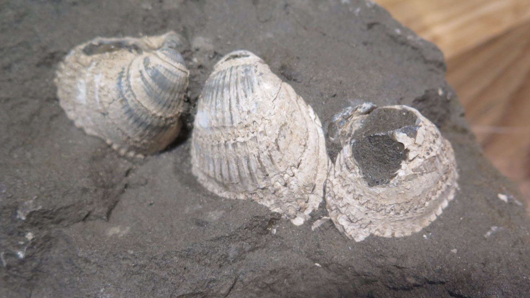 2 Fossil Clam Shells from Georgetown Ohio