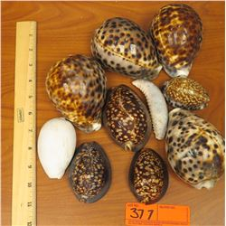 Misc. Tiger Cowrie Shells