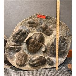 Fossil: Large Trilobite Plate, Trilobite Cluster