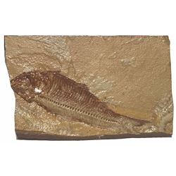 Fossilized fish in stable matrix, approx. 50 million years old.