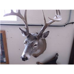 "Non Typical Whitetail Mount- 160"" +"