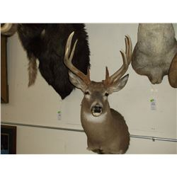 "Non Typical Whitetail Mount- Very Heavy- Upper 140's"" Class Buck"