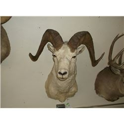 "Dall Sheep Mount- Bases 13""- Horns 35""- One Side Slightly Broomed"