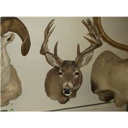 "Non Typical Whitetail Mount- 140"" Class Buck"
