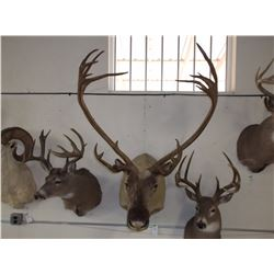"Caribou Mount- 37""W- Double Shovels on One Side"