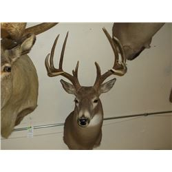"Non Typical Whitetail Mount- Upper 150'S"" Class Buck"