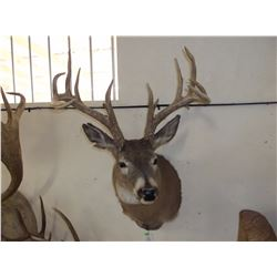"Non Typical Whitetail Mount- Mid 150's"" Class Buck"
