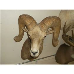 "Desert Big Horn Mount- Bases 15.5""- Horns 34""- Both Sides are Broomed"