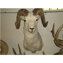 "Dall Sheep Mount- Bases 12""- Horns 32""- Both Sides are Broomed"
