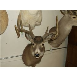 "Typical Whitetail Mount- 150"" Class Buck"
