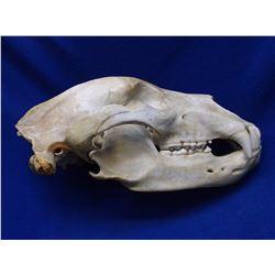 """Grizzly Bear Skull- 17""""L X 8.25""""W- Tagged"""