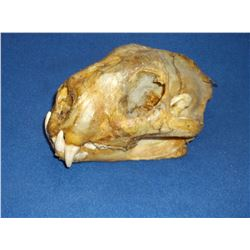 "Mountain Lion Skull- February 1953- Ravalli County MT- Lowell Hayes Collection- 9.25""L X 6.5""W"