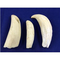 Group of Three Antique Sperm Whale Teeth - Highest 105mm