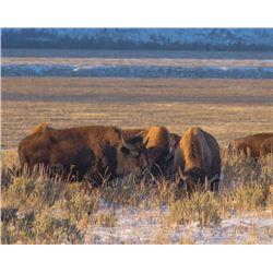 Governor's Tag-Farewell Bison