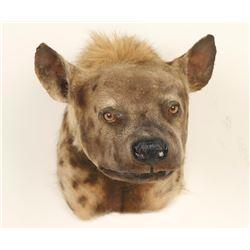 African Hyena Mount