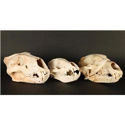 Lot of 3 Animal Skulls