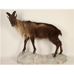 Unknown Goat Full mount