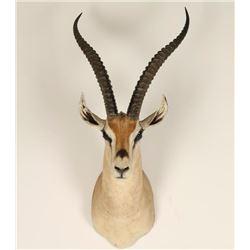 African Springbok Mount