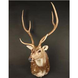 Axis Deer Shoulder Mount