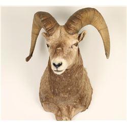 Big Horn Sheep Mount
