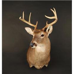 White Teil Deer Shoulder Mount
