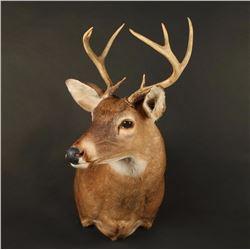White Tail Deer Shoulder Mount