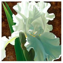 Solitary White Iris