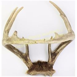 """Seldom seen Whitetail """"come together"""" or cross over antlers, unusual novelty, 14"""" across.  Est. 100-"""