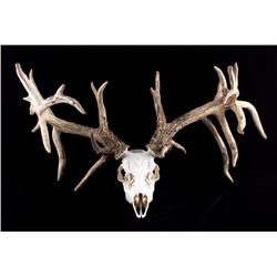 Large Non-Typical Whitetail Deer European Mount