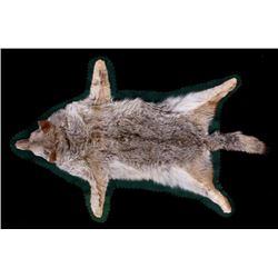 Montana Taxidermy Coyote Rug