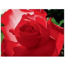 Brilliant Red Solo Rose