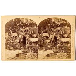 1876 Centennial International Exhibition Stereoview of Martha Maxwell's Rocky Mountain Exhibit