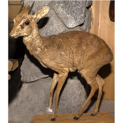 Dik-Dik Full Body Mount