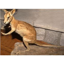 Wallaby Full Body Mount