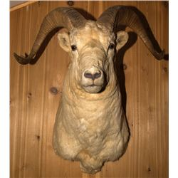 Dall Sheep Shoulder Mount
