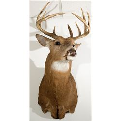 White Tailed Deer Shoulder Mount