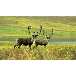 YOUTH AND ADULT 10-DAY ALASKAN CARIBOU HUNT