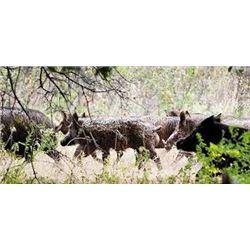 3 Day Hog/Predator Combo Hunt for 2 in Texas