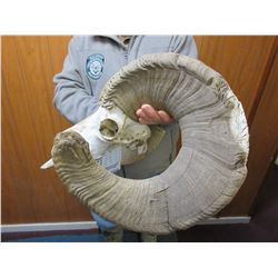 South Dakota Bighorn Skull