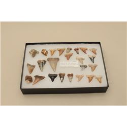 Riker case with 24 various sized sharks teeth with note