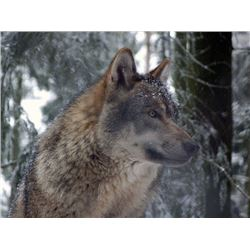 *Alberta – 6 Day – Timber Wolf Hunt and Trap-line Experience for One Hunter/Trapper
