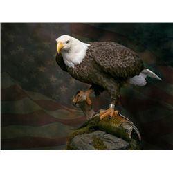 American Bald Eagle Re-Creation