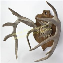 "unusual 7X10 whitetail rack 16"" wide"