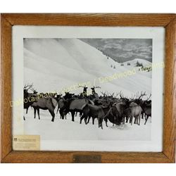 Large Union Pacific Railroad picture entitled Feeding Elk, Jackson Hole Country Winter 1907-1908, or