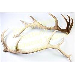 """Set of 7""""X7"""" elk sheds buttons cut off, longest 49"""" long.  Est.  75-150"""