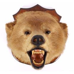 Montana Brown Bear Head Taxidermy Mount