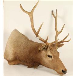 Shoulder Mount Elk